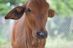 Αγελάδες Στοκ Φωτογραφία