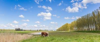 Αγελάδες Hereford στο ολλανδικό τοπίο έξω από το Γκρόνινγκεν Στοκ Φωτογραφίες