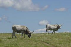 Αγελάδες Maremman που βόσκουν στον ουρανό Στοκ Εικόνες