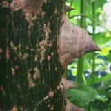 Αγκάθια στον κορμό δέντρων νήματος μεταξιού Στοκ Φωτογραφίες