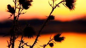 Αγκάθι καμηλών στον ήλιο υποβάθρου του τοπίου ηλιοβασιλέματος ανατολής απόθεμα βίντεο