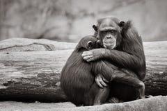 Αγκάλιασμα χιμπατζών Στοκ Φωτογραφία