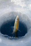 αγκίστρι 2 ψαριών Στοκ φωτογραφίες με δικαίωμα ελεύθερης χρήσης