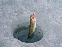 αγκίστρι 3 ψαριών Στοκ Εικόνες