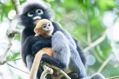 Αγκαλιάστε με την αγάπη, ένας νεογέννητος σκοτεινός πίθηκος φύλλων είναι mother's οπλίζει στους κλάδους του τροπικού δέντρου στοκ εικόνες με δικαίωμα ελεύθερης χρήσης