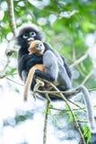 Αγκαλιάστε με την αγάπη, ένας νεογέννητος σκοτεινός πίθηκος φύλλων είναι mother's οπλίζει στους κλάδους του τροπικού δέντρου στοκ φωτογραφία