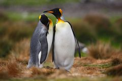 Αγκαλιά ζευγών βασιλιάδων penguin στην άγρια φύση με το πράσινο υπόβαθρο Στοκ Εικόνα