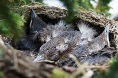Αγκαλιάζοντας τα πουλιά στη φωλιά που κοιτάζει γύρω Στοκ εικόνες με δικαίωμα ελεύθερης χρήσης