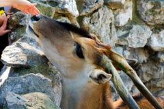 Αγκαλιά αντιλοπών στο ζωολογικό κήπο Στοκ εικόνα με δικαίωμα ελεύθερης χρήσης