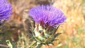 Αγκινάρα στην άνθιση, λουλούδι αγκιναρών (4k) απόθεμα βίντεο