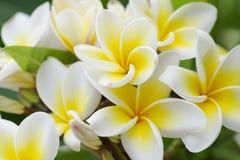 αγνότητα των άσπρων λουλουδιών Plumeria ή Frangipani άνθος του τροπικού δέντρου Εκλεκτική εστίαση Στοκ εικόνες με δικαίωμα ελεύθερης χρήσης