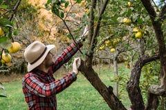 Αγορά αγροτών, υγιή τρόφιμα: το άτομο αγροτών συλλέγει το οργανικό homegr Στοκ Εικόνες
