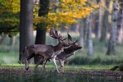 Αγρανάπαυση δύο buck πριν από την πάλη Στοκ Φωτογραφία