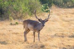 Αγρανάπαυση buck Στοκ Φωτογραφία