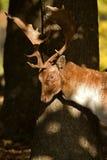 Αγρανάπαυση buck Στοκ Φωτογραφίες