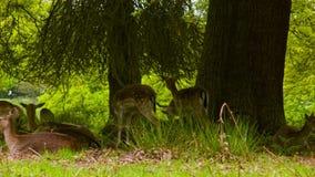 Αγρανάπαυση Deers που βρίσκεται στο έδαφος απόθεμα βίντεο
