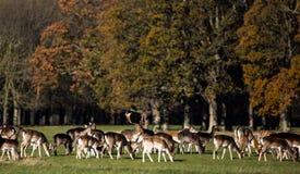 Αγρανάπαυση Deers στο πάρκο του Phoenix στοκ εικόνες