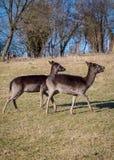 Αγρανάπαυση-Deers στοκ φωτογραφία