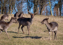 Αγρανάπαυση-Deers στοκ εικόνα με δικαίωμα ελεύθερης χρήσης