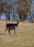 Αγρανάπαυση-Deers στοκ εικόνες