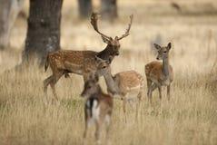 Αγρανάπαυση Deers, dama Dama, Ισπανία στοκ φωτογραφία με δικαίωμα ελεύθερης χρήσης