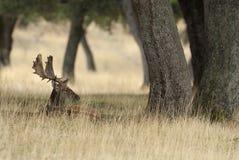Αγρανάπαυση Deers, dama Dama, Ισπανία στοκ φωτογραφία