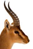 αγριοκάτσικο nubian Στοκ εικόνες με δικαίωμα ελεύθερης χρήσης