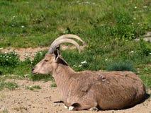 Αγριοκάτσικο Nubian Στοκ φωτογραφία με δικαίωμα ελεύθερης χρήσης