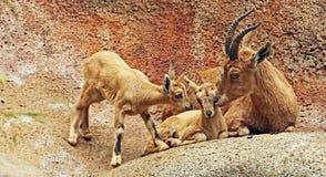 αγριοκάτσικο nubian Στοκ Φωτογραφίες