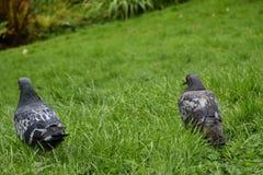 Αγριοπερίστερο - περιστέρι βράχου - φύση Στοκ Φωτογραφίες