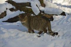 Αγριόγατος στο χιόνι Στοκ εικόνες με δικαίωμα ελεύθερης χρήσης
