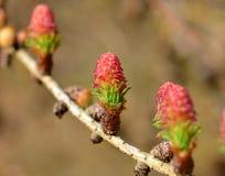 αγριόπευκο λουλουδι Στοκ Φωτογραφίες
