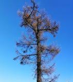 Αγριόπευκο με τους κώνους ενάντια στον ουρανό στοκ εικόνα με δικαίωμα ελεύθερης χρήσης