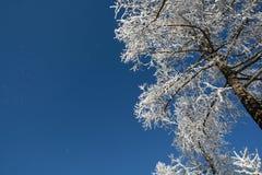 Αγριόπευκο στο χιόνι Στοκ εικόνες με δικαίωμα ελεύθερης χρήσης