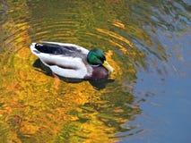 Αγριόχηνα που κινούνται στο νερό, Λιθουανία Στοκ Εικόνες