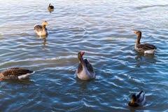 Αγριόχηνα που κολυμπούν σε μια λίμνη ή έναν ποταμό Στοκ Εικόνα
