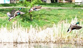 Αγριόχηνα που πετούν στο πάρκο Πάπια πρασινολαιμών στη φύση στη λίμνη Φωτογραφία κάλυψης με τις πάπιες ανασκόπηση που σχεδιάζε&t  στοκ εικόνες με δικαίωμα ελεύθερης χρήσης