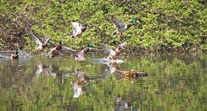 Αγριόχηνα που πετούν στο πάρκο Πάπια πρασινολαιμών στη φύση στη λίμνη Φωτογραφία κάλυψης με τις πάπιες ανασκόπηση που σχεδιάζε&t  στοκ φωτογραφίες με δικαίωμα ελεύθερης χρήσης