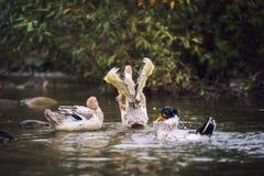 Αγριόχηνα πρασινολαιμών που κολυμπούν σε μια λίμνη, υπόβαθρο φύσης με ένα πουλί στοκ εικόνες