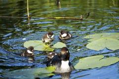 Αγριόχηνα σε μια λίμνη κρίνων την άνοιξη Στοκ εικόνες με δικαίωμα ελεύθερης χρήσης