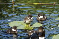 Αγριόχηνα σε μια λίμνη κρίνων την άνοιξη Στοκ Εικόνες
