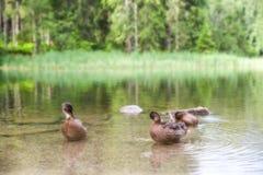 Αγριόχηνα στη λίμνη Στοκ Εικόνες
