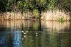 Αγριόχηνα στον ποταμό Στοκ Εικόνες