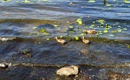 Αγριόχηνα στον ποταμό Στοκ εικόνα με δικαίωμα ελεύθερης χρήσης