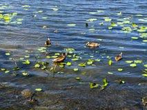 Αγριόχηνα στον ποταμό Στοκ φωτογραφία με δικαίωμα ελεύθερης χρήσης