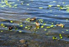 Αγριόχηνα στον ποταμό Στοκ εικόνες με δικαίωμα ελεύθερης χρήσης