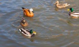 Αγριόχηνα στο νερό Στοκ φωτογραφίες με δικαίωμα ελεύθερης χρήσης