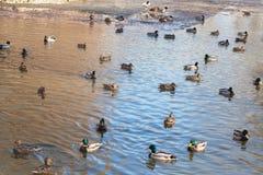 Αγριόχηνα στο νερό Στοκ Εικόνα