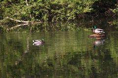 Αγριόχηνα στο πάρκο Πάπια πρασινολαιμών στη φύση στη λίμνη Φωτογραφία κάλυψης με τις πάπιες ανασκόπηση που σχεδιάζε&t Σχέδιο πανί στοκ εικόνες