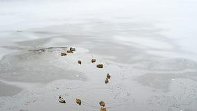Αγριόχηνα στο παγωμένο ξέφωτο λιμνών απόθεμα βίντεο